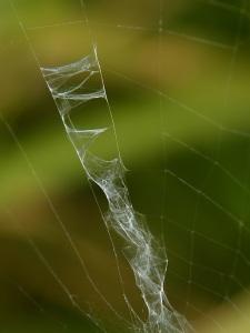 Stabilimentum pajęczyny tygrzyka.