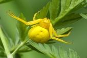 Żółty kwietnik.