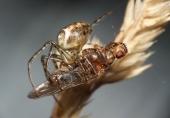 Czaik ze schwytaną muchówką.
