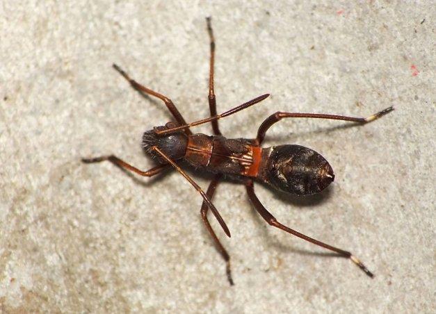 Larwa smyczka mrówkownika.