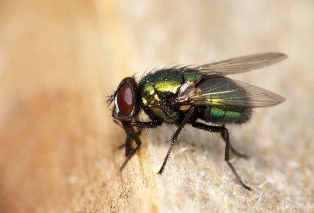 Mucha z rodzaju Lucilia.