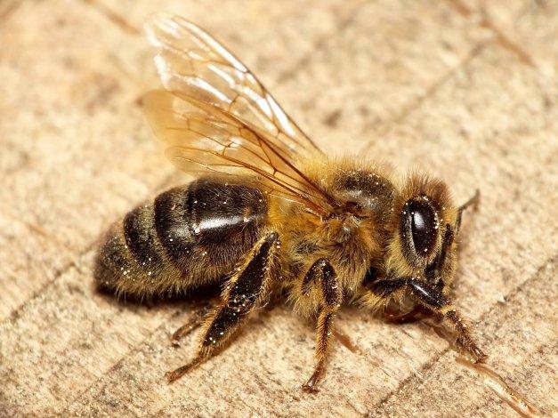 Pszczoła miodna.