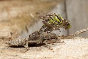 Wychodząca z oskórka larwy ważka.