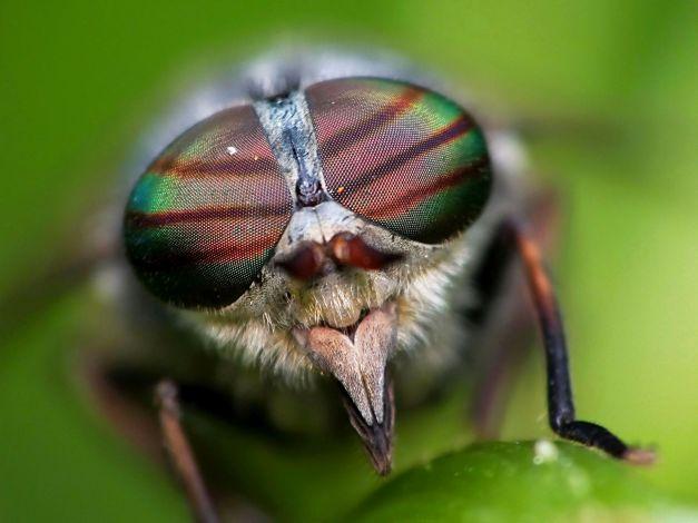 Widok na oczy złożone baka z rodzaju Hybomitra.