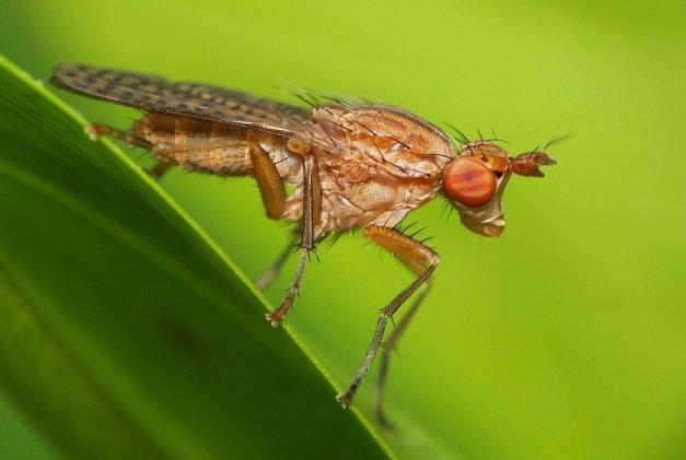 Muchówka z rodziny Sciomyzidae