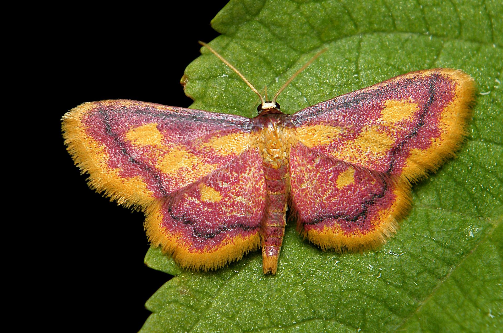 Znalezione obrazy dla zapytania fioletowy motyl gatunek