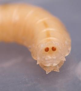 Tył larwy.