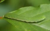 Gąsienica cytrynka.