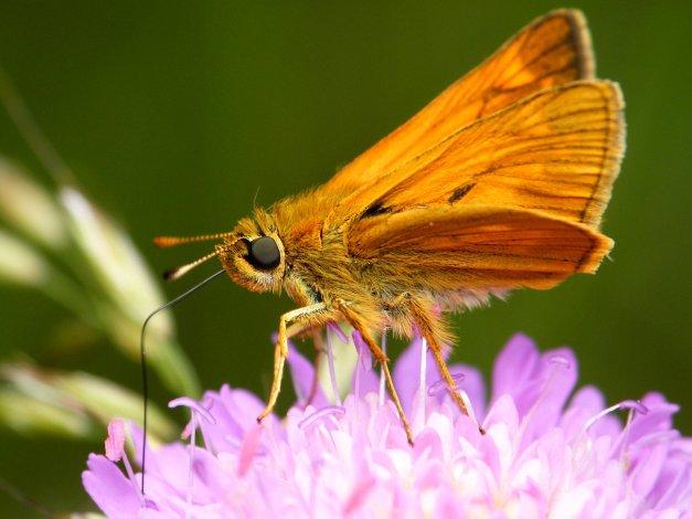 A tutaj spijający nektar.