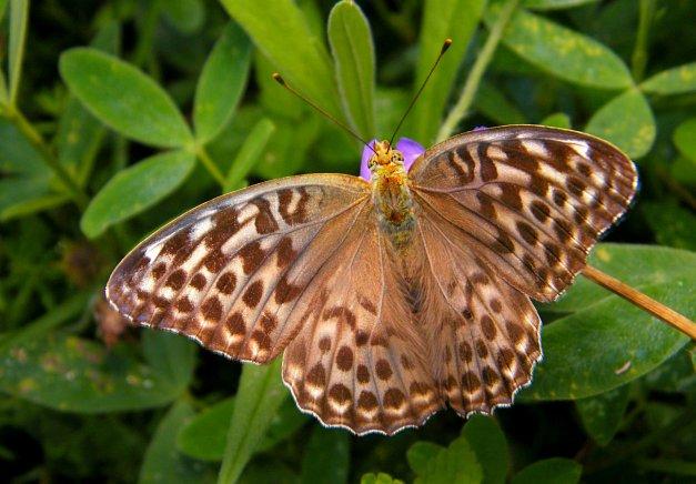 Valesia z rozłożonymi skrzydłami.