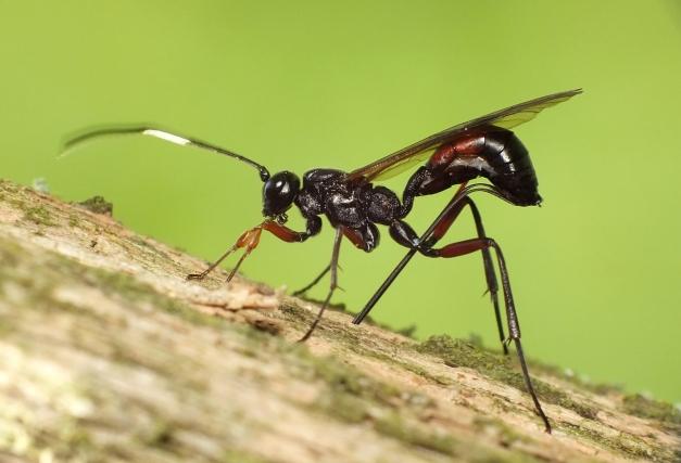 Samica gąsienicznika.