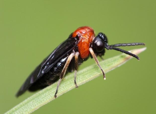 Rośliniarka z gatunku Eutomostethus ephippium
