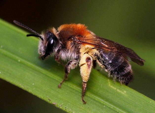 Pszczolinka wiosenna.