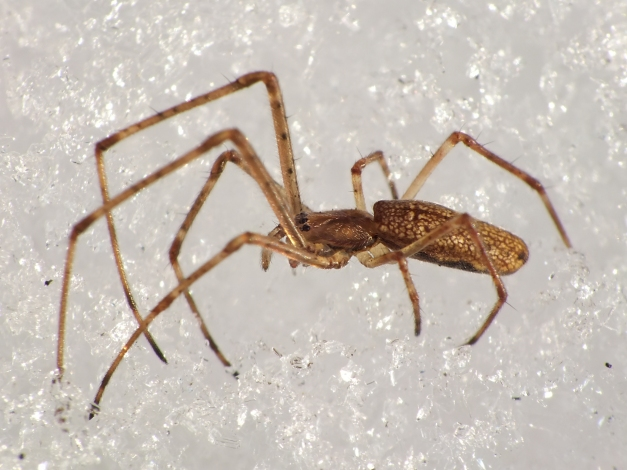 Kwadratnik, czyli jeden z liczniejszych pająków na śniegu.