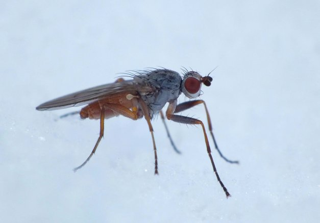 Zimowa muchówka.