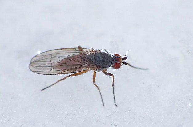Muszka z rodzaju Heteromyza.