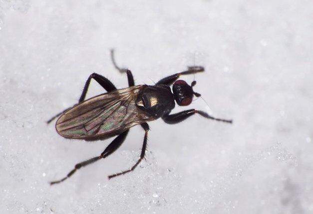 Muchówka z rodzaju Crumomyia.