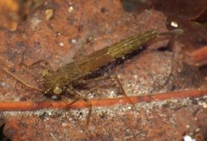 Kolejna larwa ważki równoskrzydłej.
