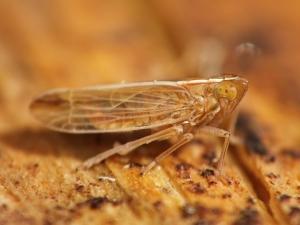 Skoczek z rodzaju Sterocranus.