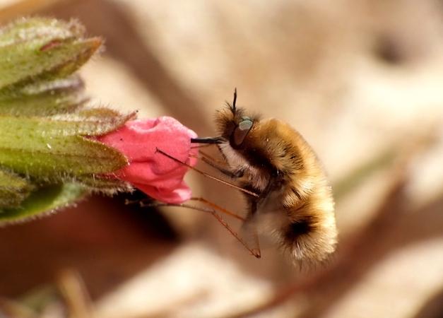 W czasie spijania nektaru.