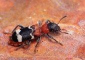 A oto i przekrasek mróweczka.