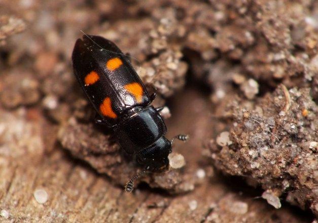 Kolejne ujęcie tego ciekawego chrząszcza.