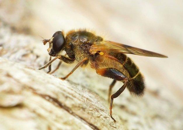 Kolejne ujęcie tej ciekawej muchówki.