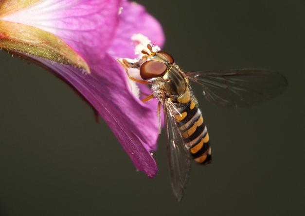 Samica odwiedzająca kwiat