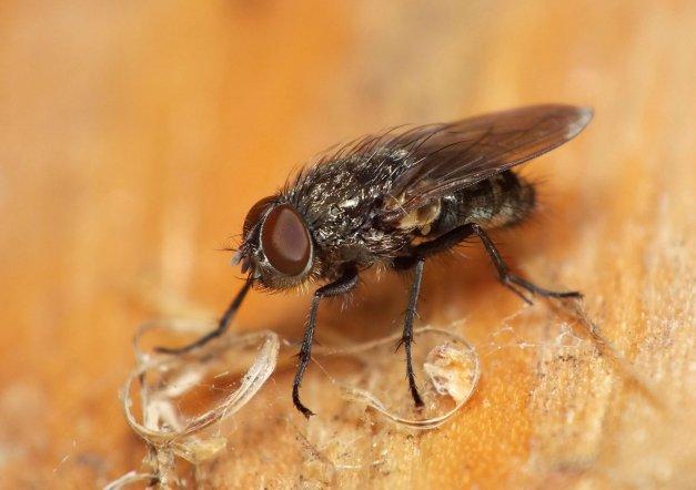 A oto i muszka z rodzaju Pollenia.