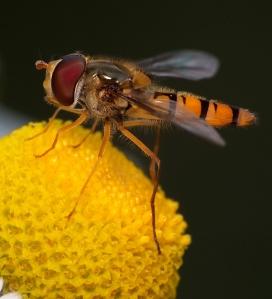 Tym razem samczyk na kwiatku.