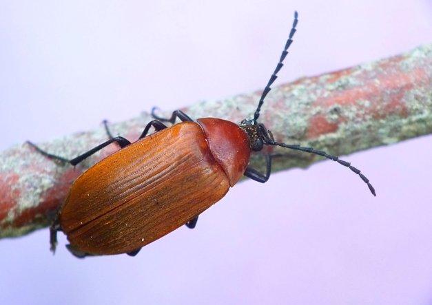 Pseudocistela ceramboides w całej okazałości.