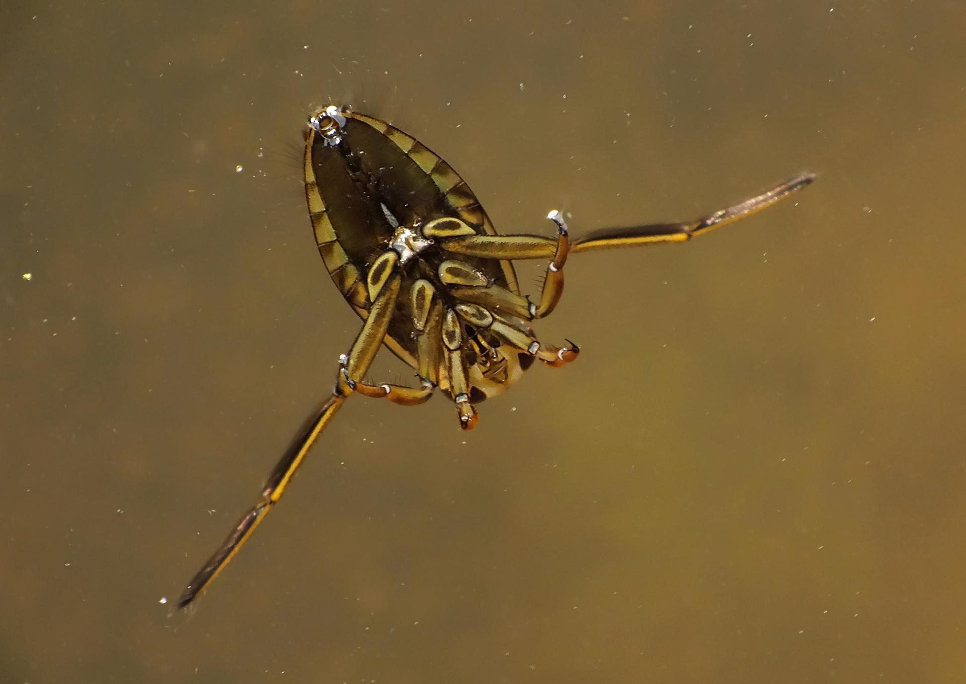 Pluskwiaki Hemiptera świat Makrocom