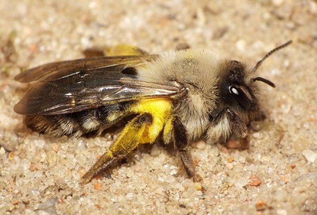 Pszczolinka w całej okazałości.