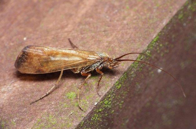 Chruścik z rodzaju Anobolia, którego spotkałem w grudniu.