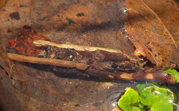 Domek larwy chruścika z rodzaju Anabolia.