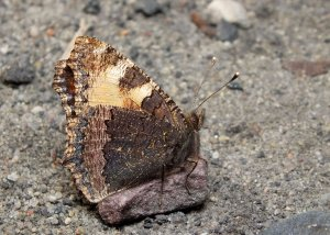 Rusałka pokrzywnik ze złożonymi skrzydłami.