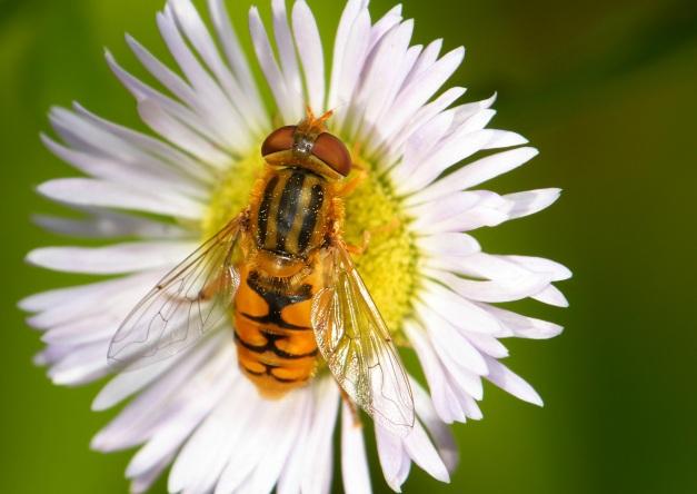Parhelophilus na kwiatku.