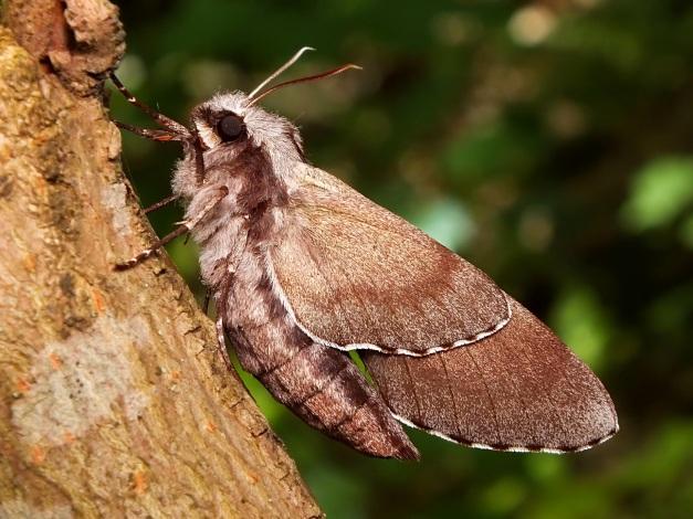Osobnik ze złożonymi skrzydłami.