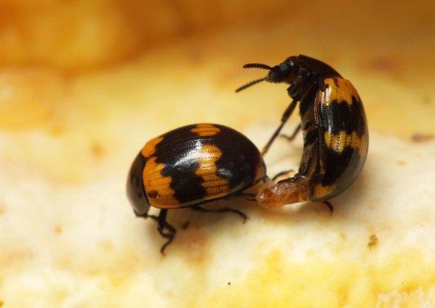 Samiec próbujący kopulować z samicą.
