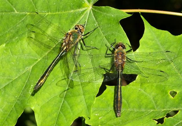Dwa samce, odpoczywające obok siebie na liściu.