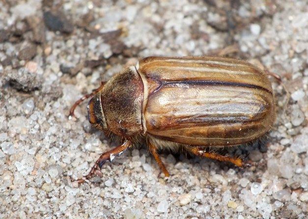 Kolejne ujęcie tego chrząszcza.