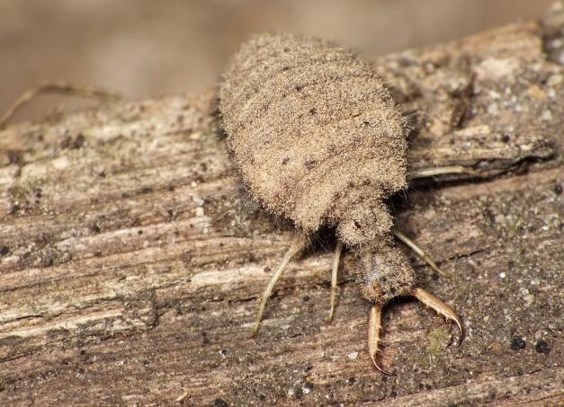 A oto i larwa mówkolwa.