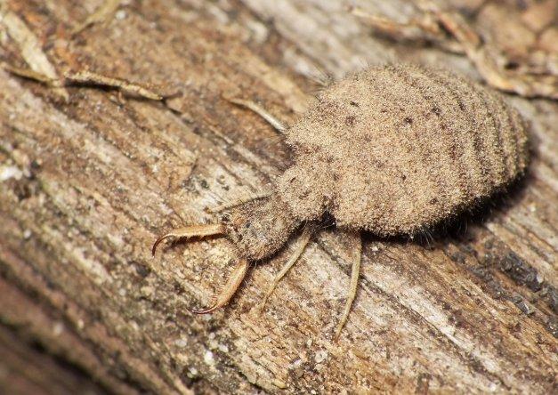 I jeszcze raz larwa mrówkolwa.