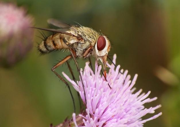 I jeszcze takie ujęcie w czasie wysysania nektaru.