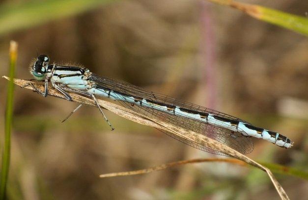 Androchromatyczna samica.