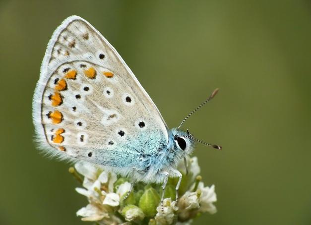 Samczyk ikara ze złożonymi skrzydłami.