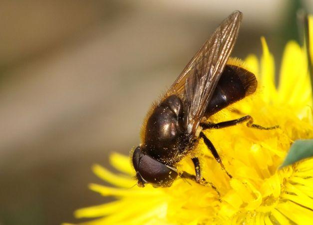 Cheilosia w czasie zjadania pyłku.
