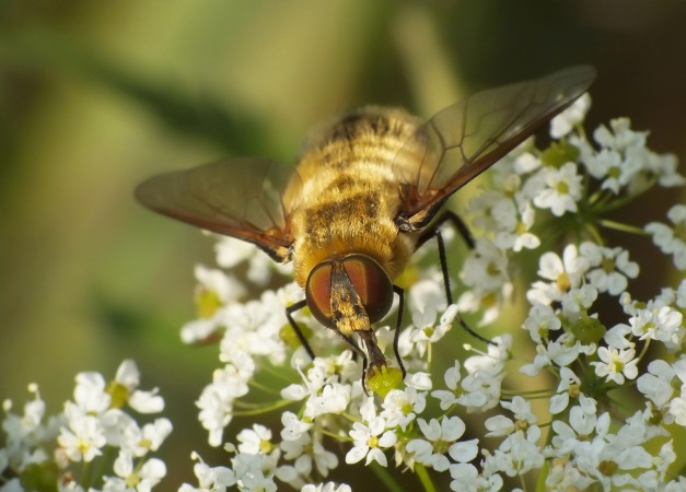 Osobnik spijający nektar.