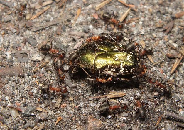 Kwietnica oblegana przez mrówki.
